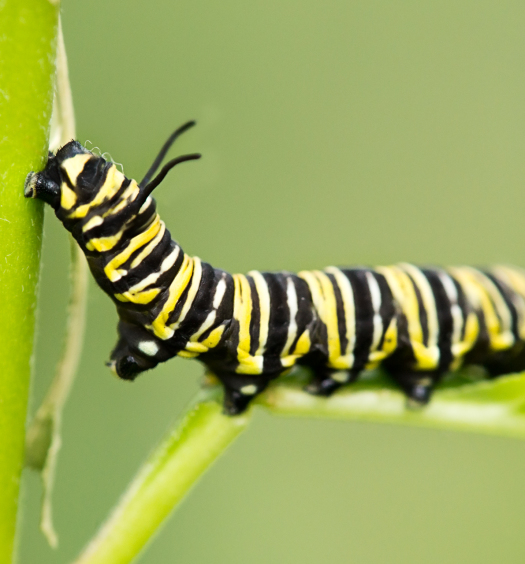Butterfly Caterpillar