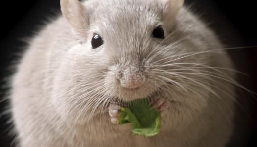 Rasvumist võib põhjustada geenimutatsioon
